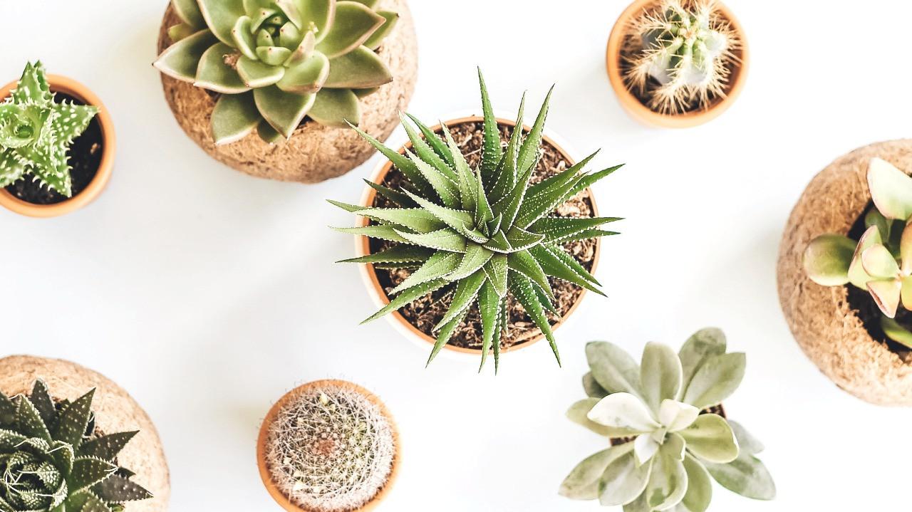Perbedaan Sukulen dan Kaktus Serta Cara Merawatnya